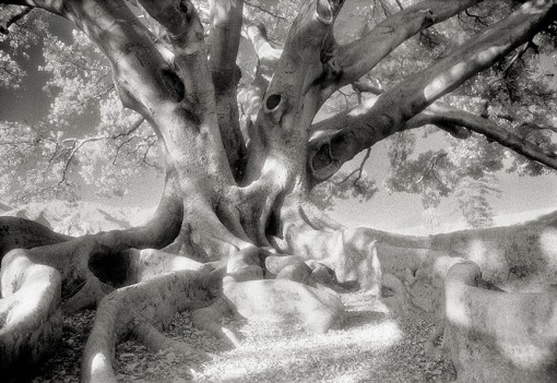 Beth Moon – The Morton Bay Fig