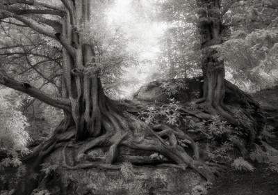 Do you know the world's oldest trees?
